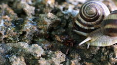 Two snails, one quickly crawls Stock Footage