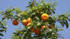 4K Closeup orange exotic fruit tangerine plantation rural farmland citrus raw  Stock Footage