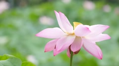 4K: Lotus flower in the r ain Stock Footage