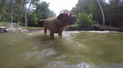 French mastiff slinging slober slo mo Stock Footage