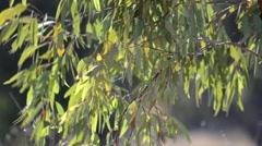 Australian Eucalypt leaves swaying in a gentle summer breeze. Stock Footage