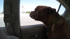 2.7k french mastiff flapping in wind out car window Stock Footage