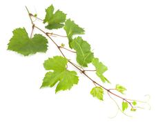 Fresh vine branch isolated on white background Stock Photos