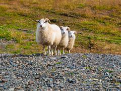 Sheep triple - stock photo