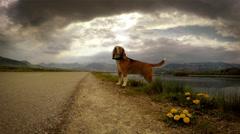 4K Footage: Beagle's on the walk on a dull day Stock Footage