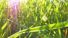 Bright green grass and sunlight beams  on meadow. Real time close up  dolly sh Stock Footage