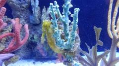 4K Seahorse Hippocamp Algae Underwater Stock Footage