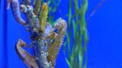4K Seahorses Hippocamp Natural habitat Stock Footage