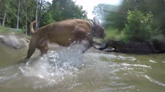 2.7k french mastiff plays in water slow motion Stock Footage