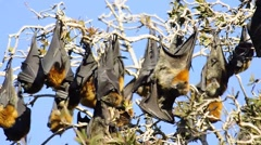 Australian fruit bats, grey-headed flying fox. Stock Footage
