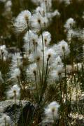 Cotton grass (Eriophorum scheuchzeri) at the edge of a glacial Lake Stock Photos