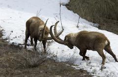 Stock Photo of Ibex, Capra ibex, fighting, bouquetin, mammal, male, winter, snow,