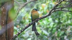 Blue-crowned Motmot perched in a tree Stock Footage