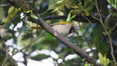 A Buff-throated Saltator from Panama Stock Footage
