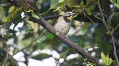An alert Buff-throated Saltator from Panama - stock footage