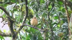 A Clay-coloured Thrush from the tropics Stock Footage