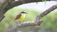 Great Kiskadee in the rain in Panama Stock Footage