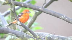 A vivid Flame-coloured Tanager Stock Footage