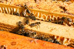 Close up view of the working bees on honeycomb. - stock photo