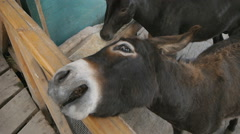 Brown Donkey Want Eat Stock Footage
