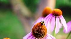 Bumble-bee Feeds On Nectar Purple Coneflower (Echinacea Purpurea) Stock Footage