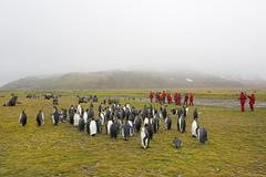 Group of people watching a small colony of King Penguins on South Georgia. Stock Photos