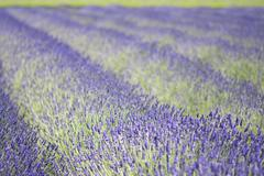 Rows of aromatic plants, lavender, flowering in fields. Stock Photos