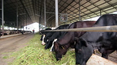 Dairy Cattle Eating Stock Footage