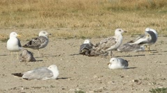 A flock of gulls on the shore. Stock Footage