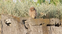 An immature of little owl in natural habitat Stock Footage