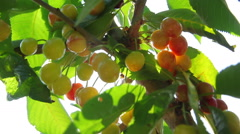 Ripe cherries on the tree Stock Footage