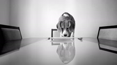 Black and white footage: dog sniffs the empty plate sitting on the table Stock Footage