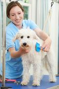Pet Dog Being Professionally Groomed In Salon - stock photo