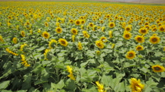 Sunflower Field in the Wind Stock Footage