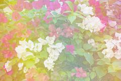 White and pink Bougainvillea or Paper flower soft style Stock Photos
