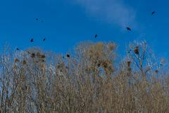 nests of crows or rooks in grove - stock photo