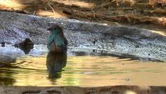 A Blue Waxbill bathing in a natural looking bird bath Stock Footage