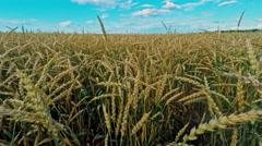 Russia, Vladimirskaya region, ripe rye, 16 July 2015 Stock Footage