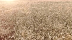 Aerial flight over ears of ripe barley Stock Footage