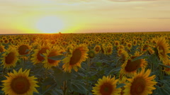 Time lapse with flowering sunflowers on a background sunset, motorized slider Stock Footage
