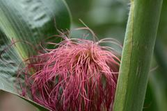 Female flower of a maize plant. - stock photo