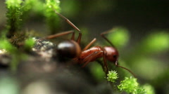 A lone ant on a moss-covered rock Stock Footage