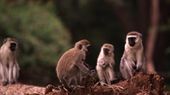 Four vervet monkeys on a fallen tree trunk Stock Footage