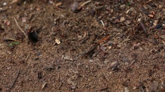 Lots of wood red ants creeps near anthill in search of building material - stock footage