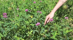 Hand of young woman ripping off wildflower at summer Stock Footage
