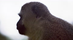 Close up on a vervet monkey's profile Stock Footage