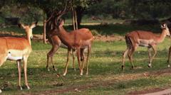Impalas grazing Stock Footage