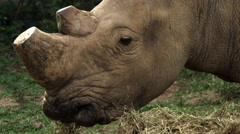 Rhino with trimmed horns eats dried grass Stock Footage