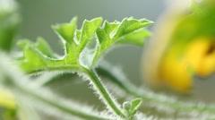 Vegetables Bitter gourd leaf Stock Footage