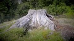 Dolly Shot Of Old Gray Tree Stump Vignette - stock footage